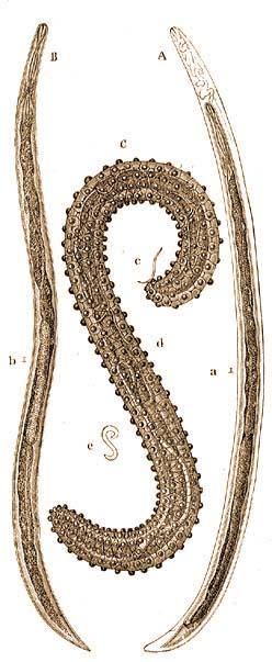 emberi ascaris idegrendszer)