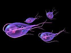 giardia paraziti
