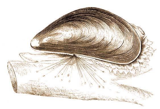 HARMADIK REND: Lemezkopoltyúsok (Eulamellibranchiata)