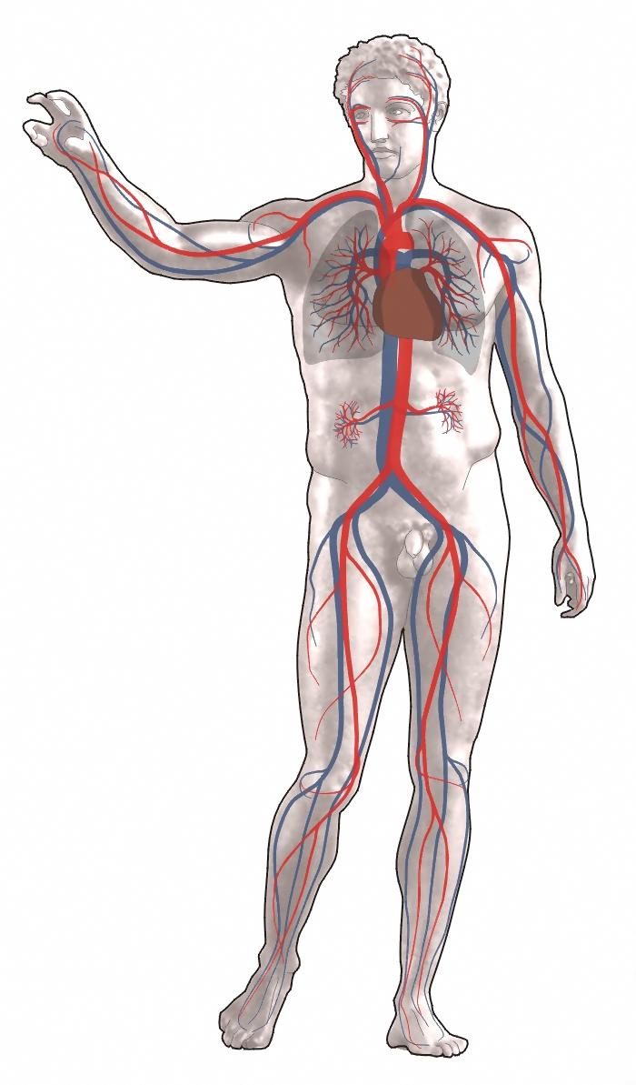milyen gyógyszerek erősítik az emberi test vérereit