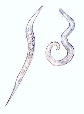 A kerekes férgek paraziták parazita kezelés laktáció alatt