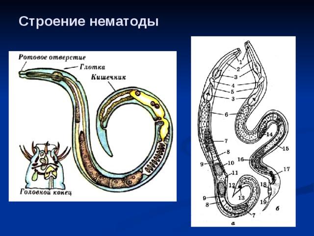 a körféreg idegrendszer típusa