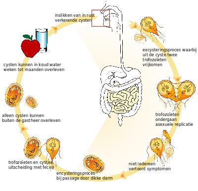 Giardia besmettelijk mens - Hivatkozások | Ceauto