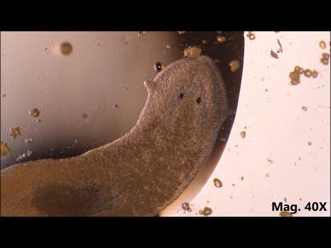 parazita sampon)