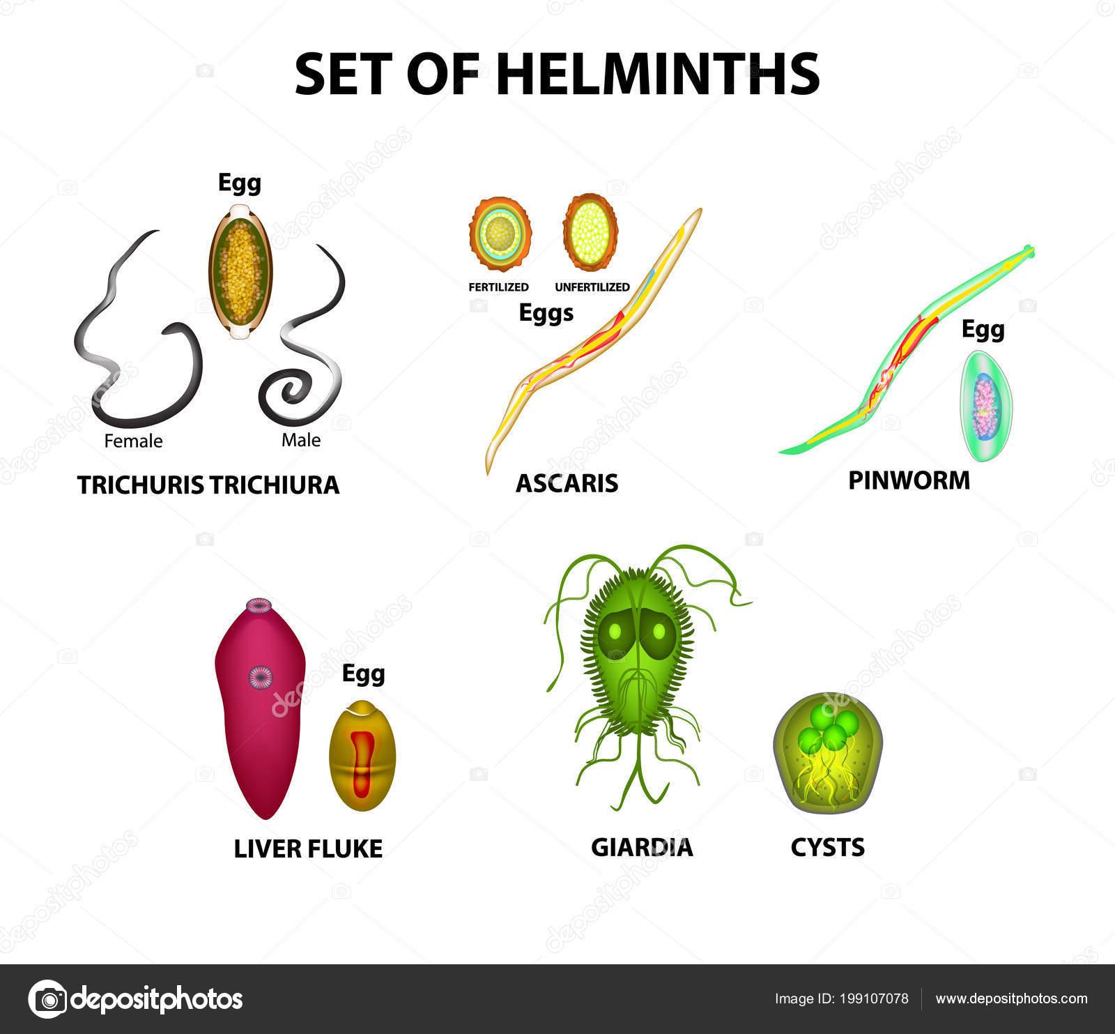 milyen betegségeket nevezünk helminthiasis ascariasis nak