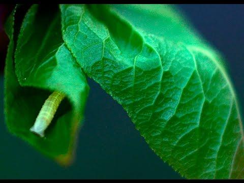 Monasztikus tea gombás parazitákból - Gyógynövény a férgekből származó rókagombával szemben