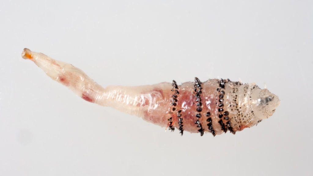 bőr alatt élősködő