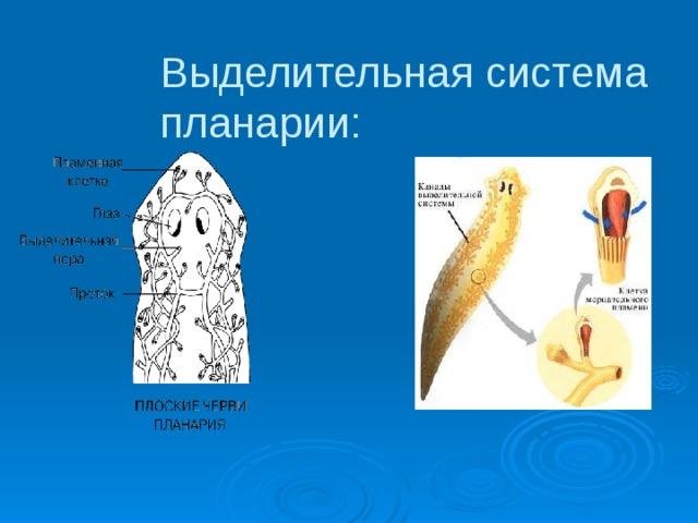 a szalagféregek laposférgek)