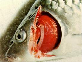 Bélso parazitás halbetegseg