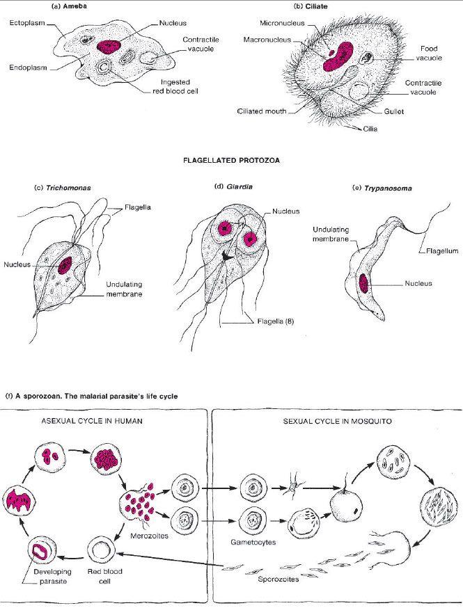 giardiasis diéta)