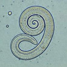 Trichinosis Helix - MOB tárgyszavak « MEDINFO