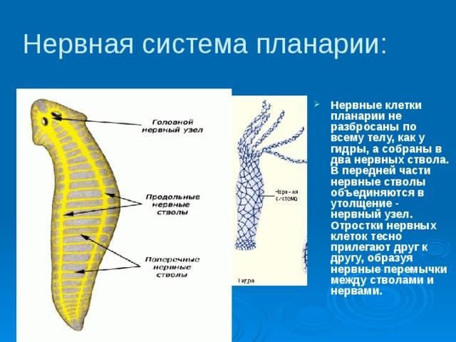 típusú szalagok és ciliáris férgek