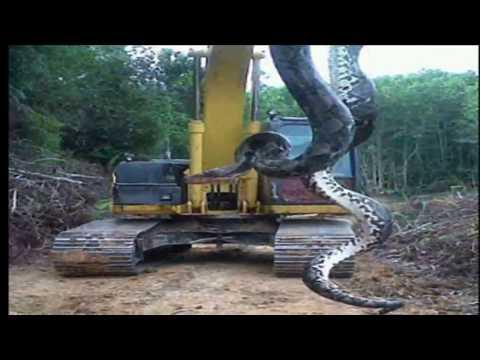 kígyó helminták)