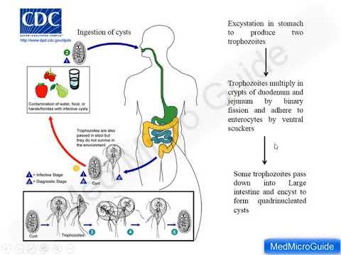 szarvasmarha szalagféreg hermaphroditic proglottida