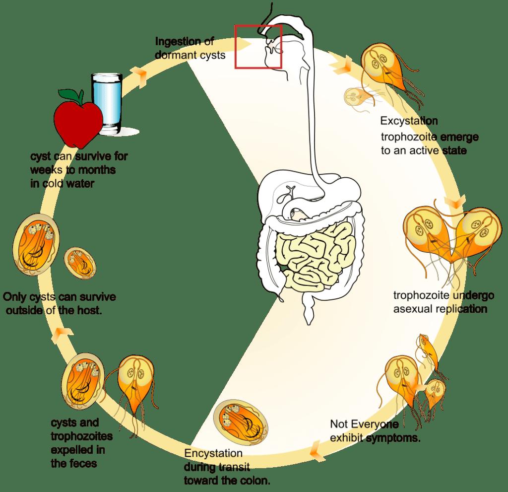 Virus giardia cane