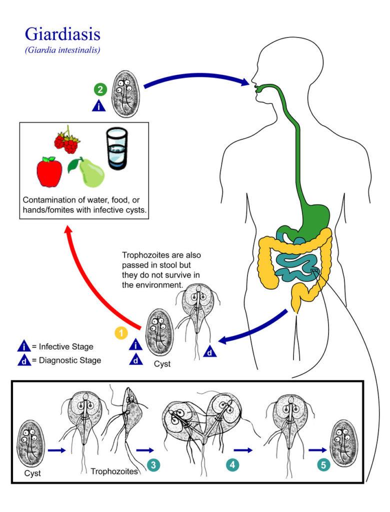menü a giardiasis kezelésére)