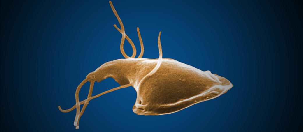 Giardiasis smecta. Utazók hasmenése – Wikipédia