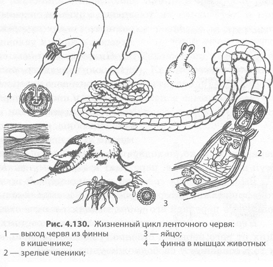 szarvasmarha szalagféreg növekedési zónája