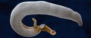 féreg parazita gyógyszerek platyhelminthes platyzoa