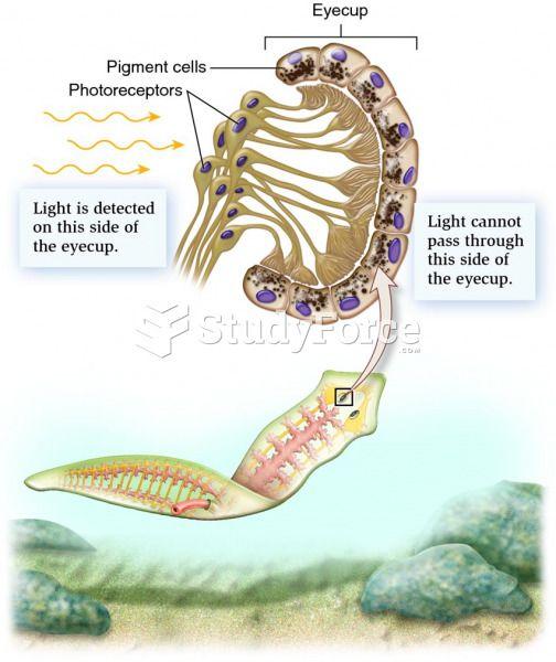 a platyhelminthes evolúciós változásai