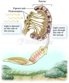 strongyloidosis spirál