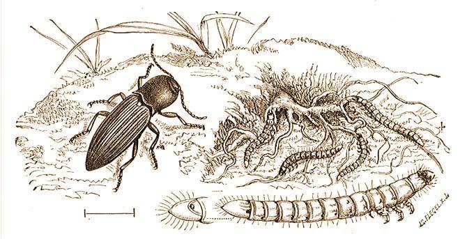 22. család: Pattanóbogarak (Elateridae)