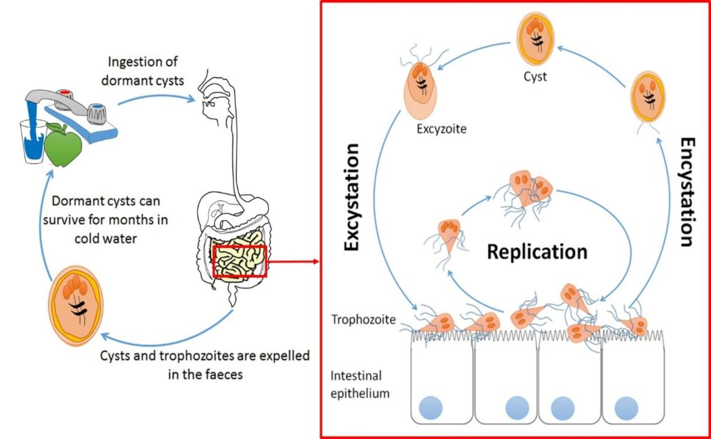 Giardia pathogenic