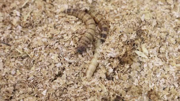 széles mérőszalag nevezze meg a parazita élőhelyét