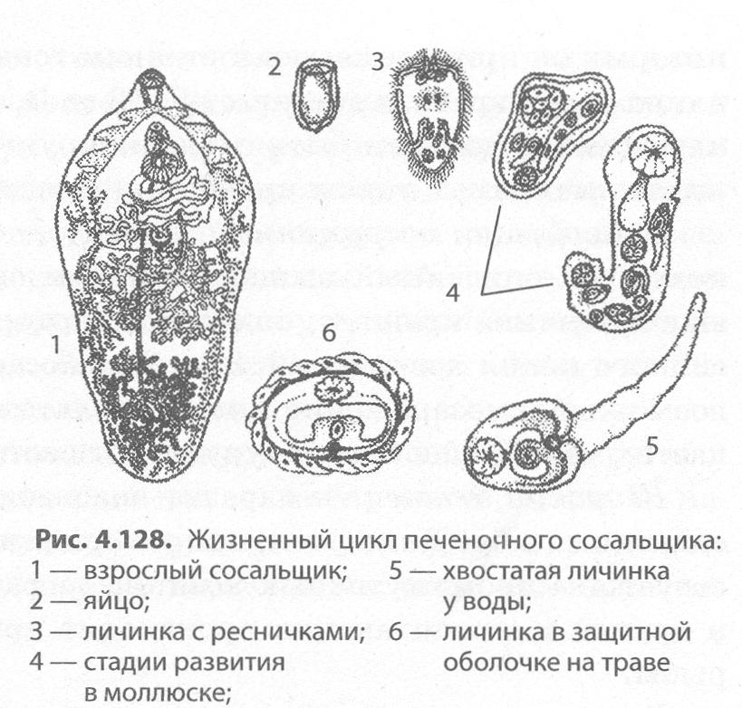 bika szalagféreg mérete és alakja)