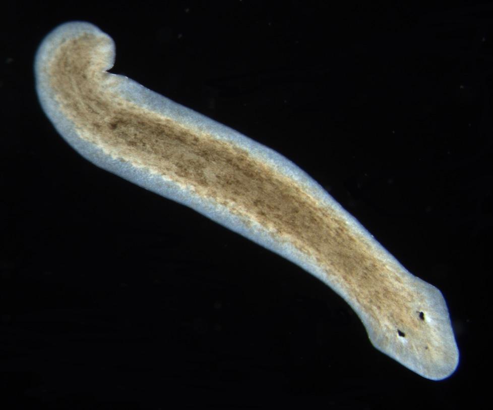 platyhelminthes planaria alakú