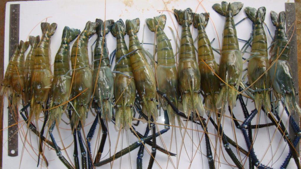 jumeaux paraziták meghatározása)