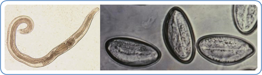 Pinworm biohelminth vagy geohelminth Az életciklus a bélféreg