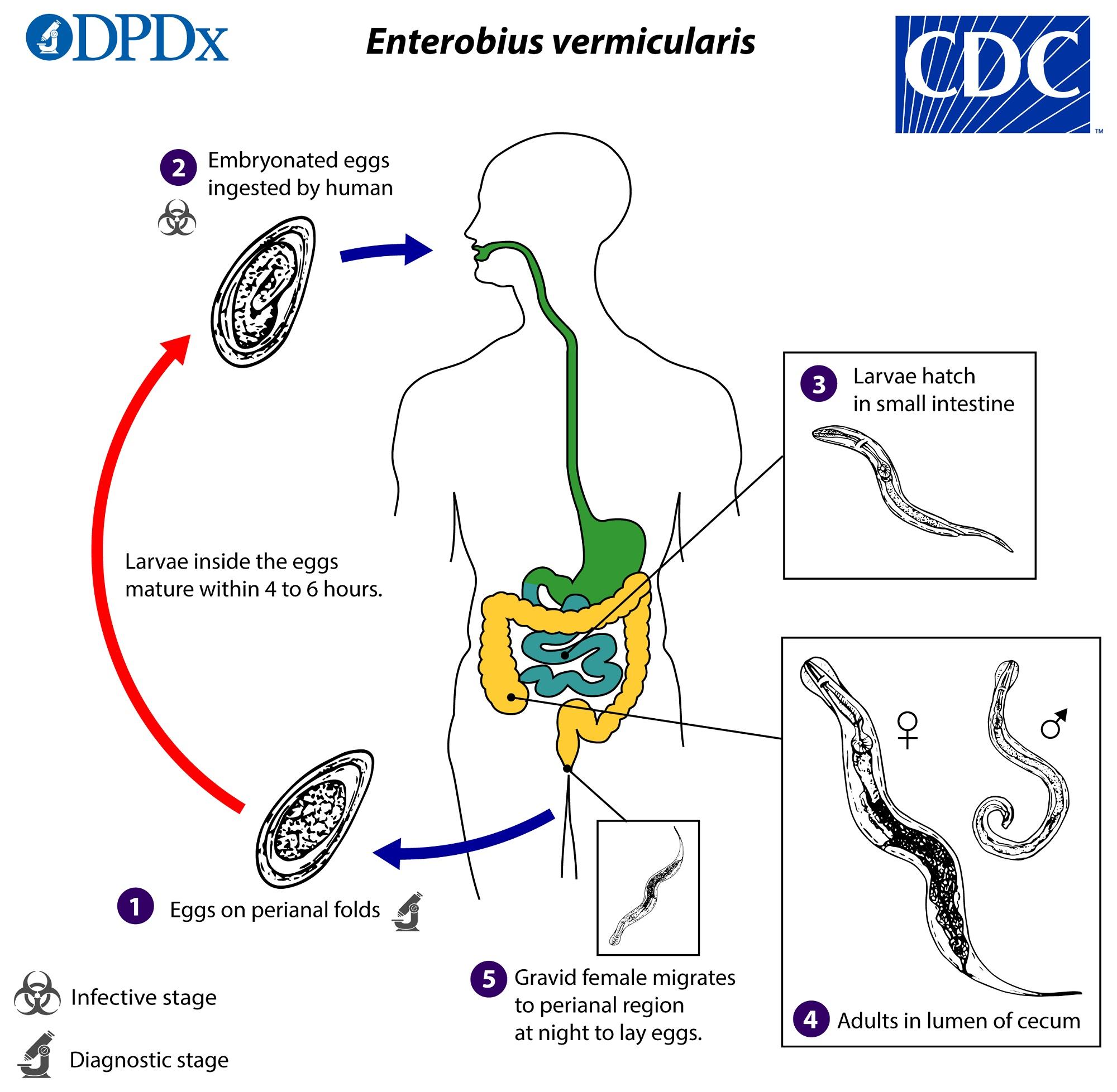 az enterobiosis terjedése