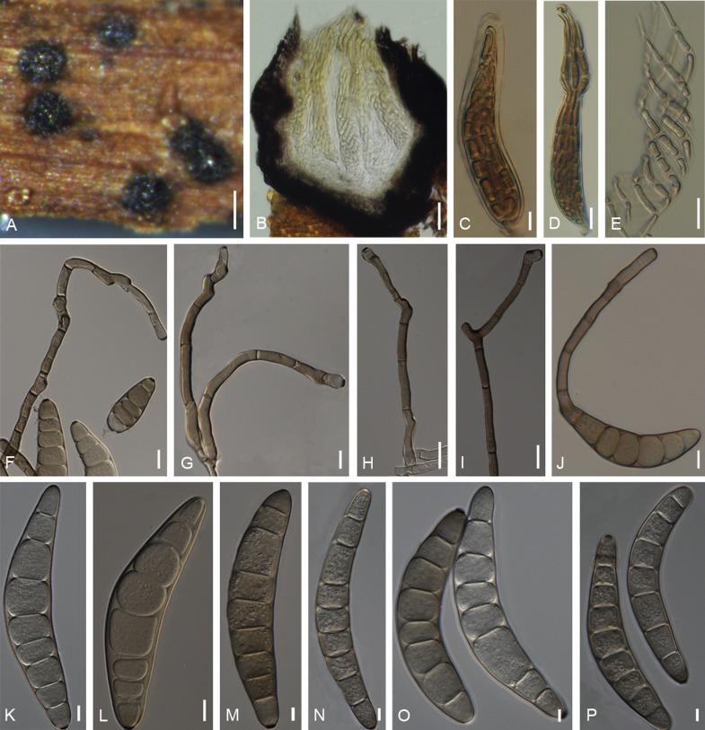 helminthosporium maydis taxonómia