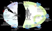 paraziták leishmania tropica