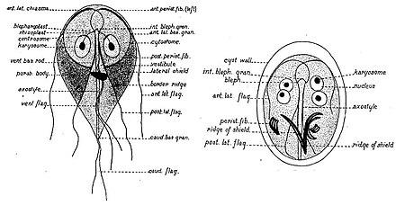 giardia genus and species)
