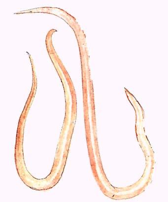Helmisole tabletták férgek számára gyógyulás az anthelmintikumból
