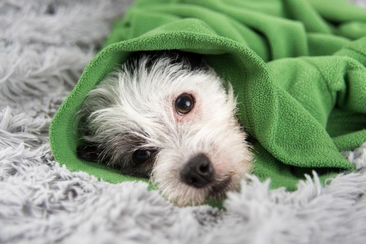 szívférgesség jelei kutyánál