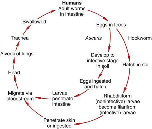 aszcariasis patogenezis)