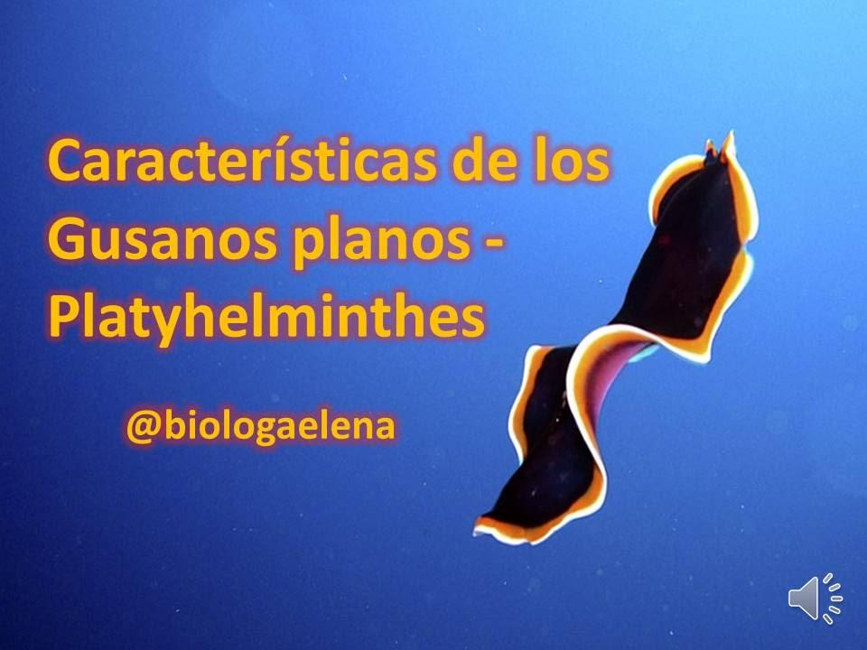 Filo platyhelminthes élőhely. A Metazoa filogénia feltételezett útvonalai - ppt letölteni