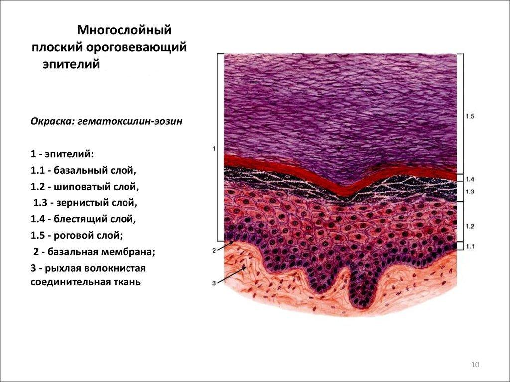 A hám epitéliuma a férfiakban normális