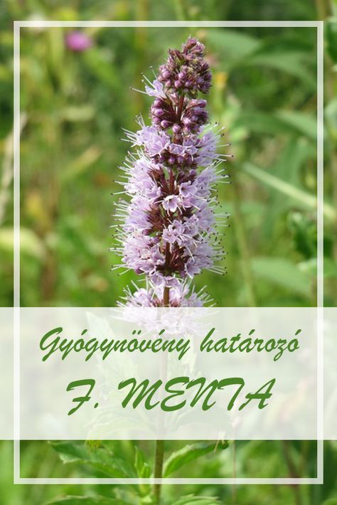 parazitaellenes gyógynövények gyűjteménye 7