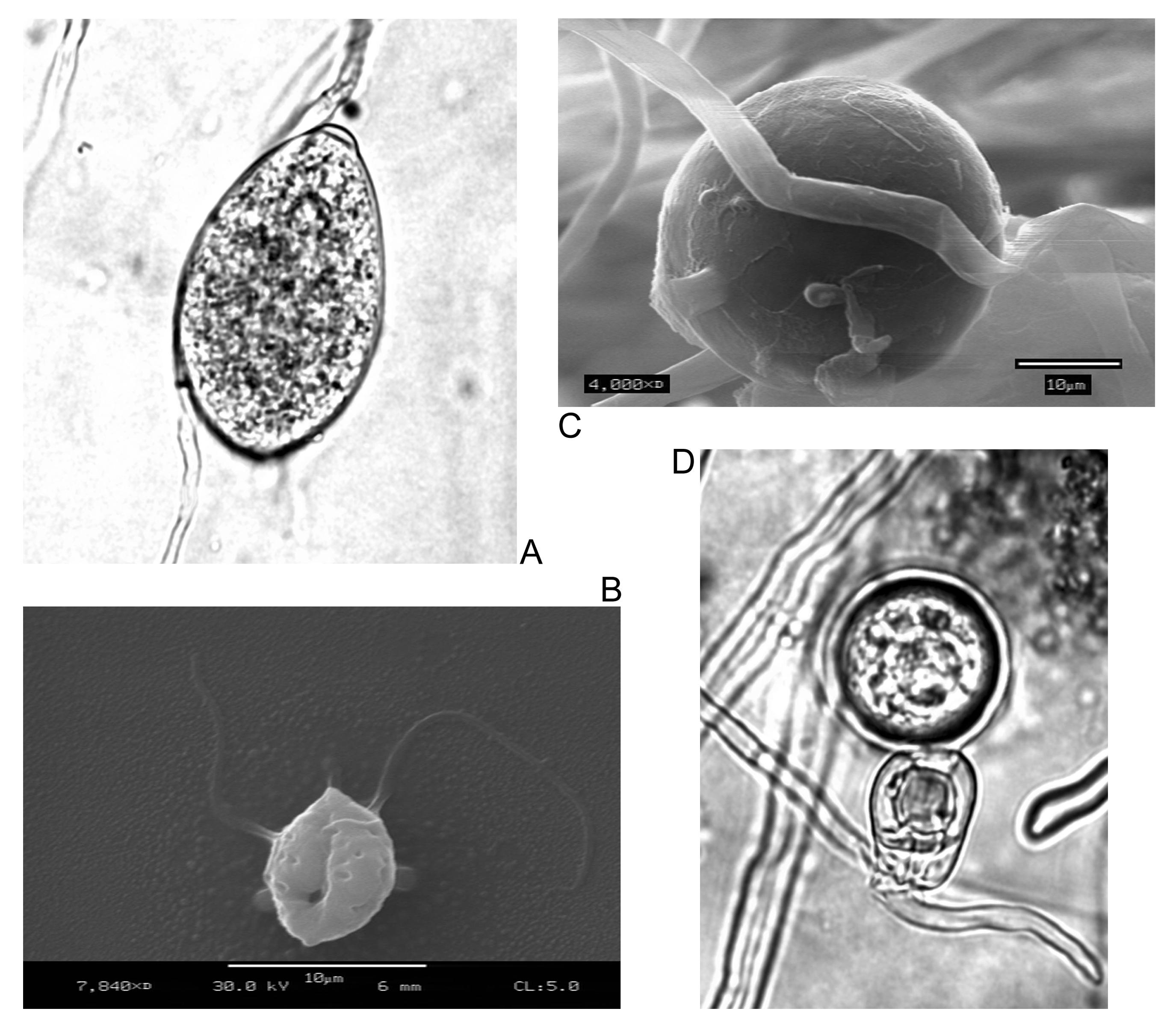 penészgomba parazita
