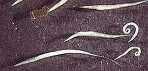 A trichinella szakaszban invazív