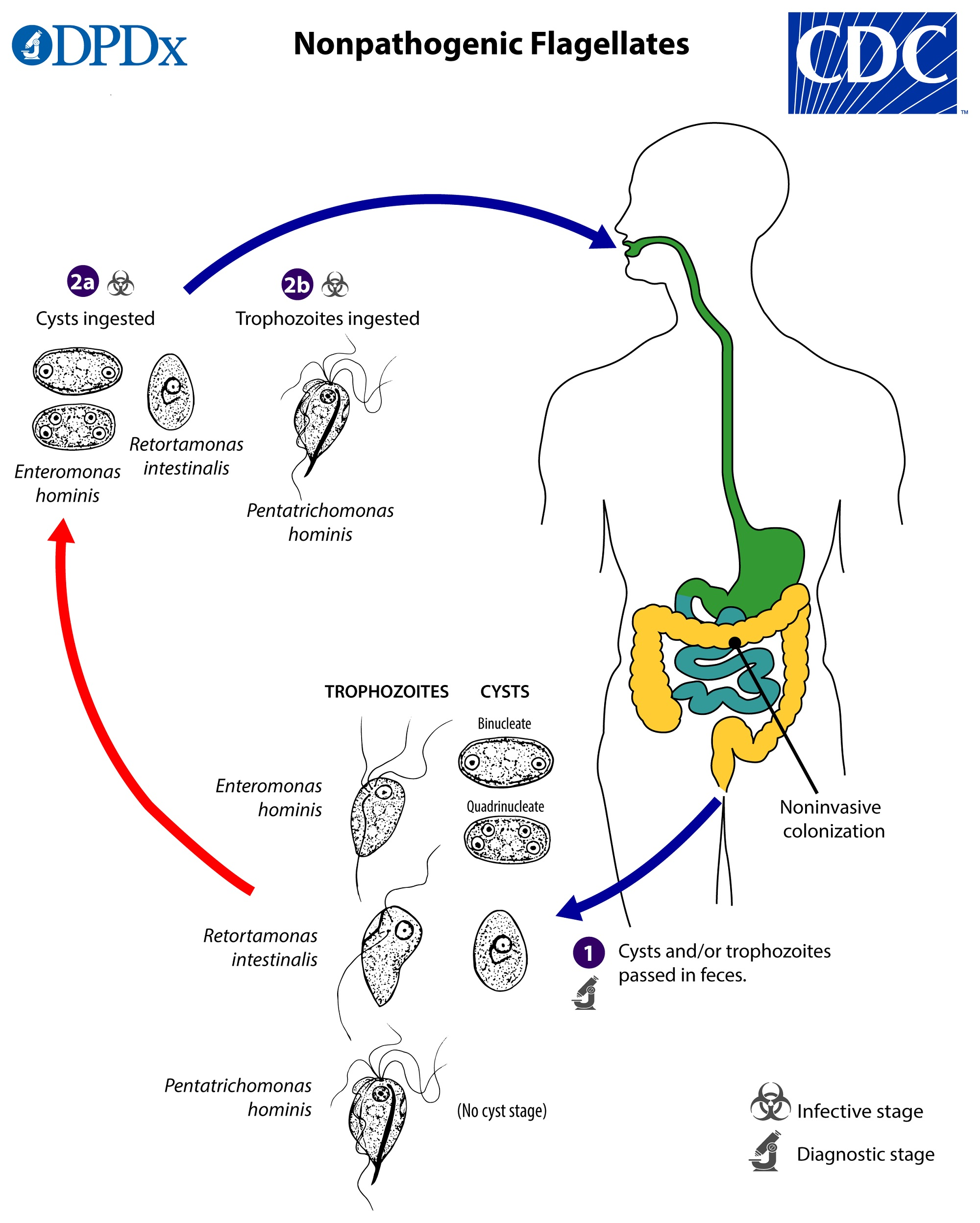 giardia duodenalis life cycle)