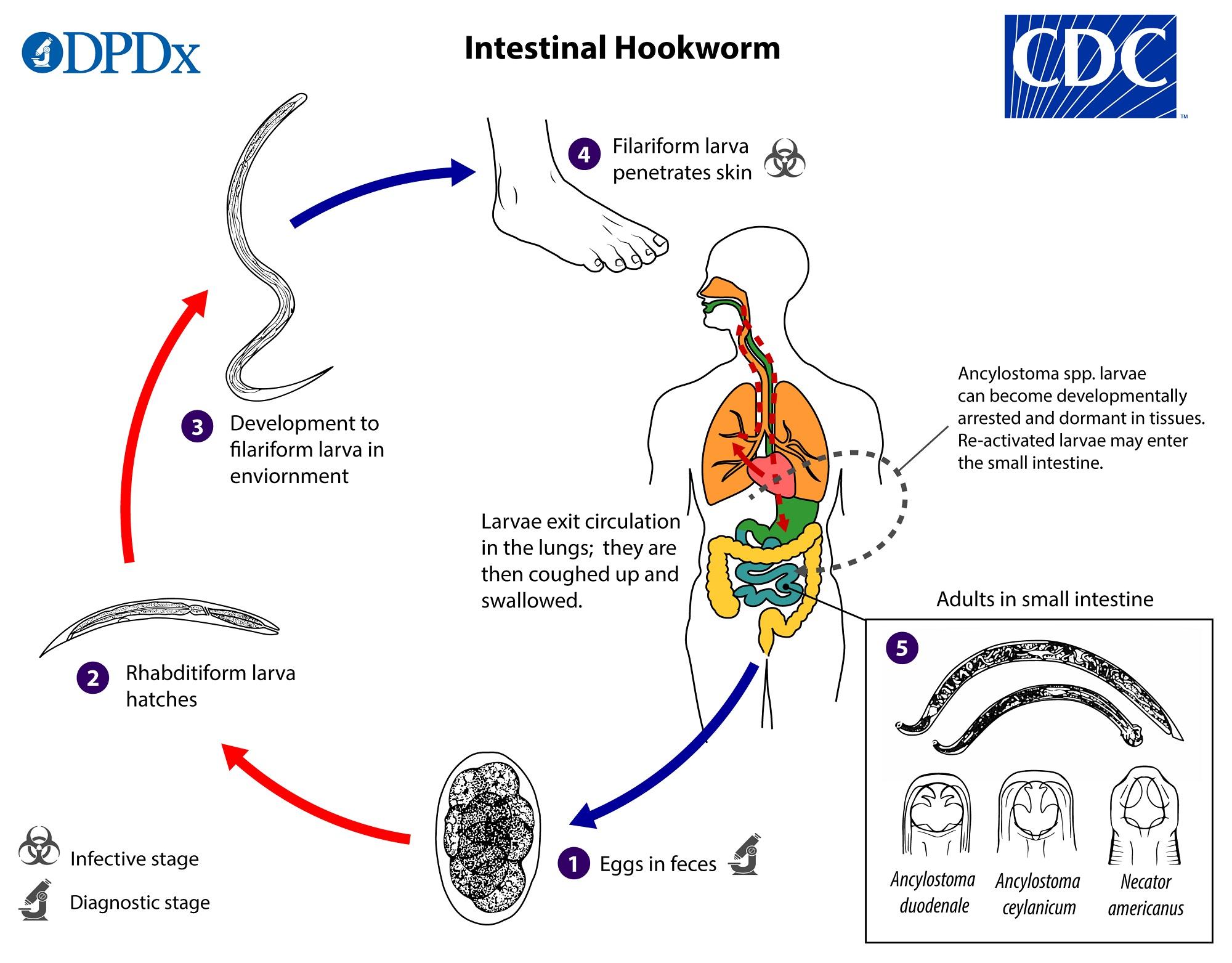 helmint hookworm kezelés