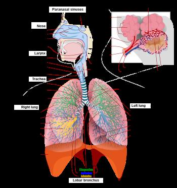 tüdő alveococcosis kóros anatómia