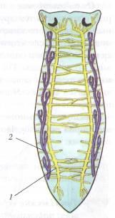 A bika szalagféreg egy kaszaféreg