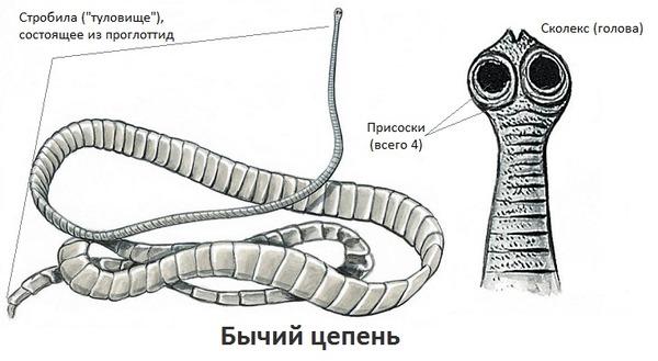 felnőtt bika szalagféreg)