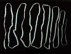dactylogyrus paraziták monogenetikus trematodes milyen férgek a gyermekekben
